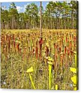 Schnell's Pitcher Plant Acrylic Print