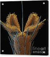 Sem Of Stable Fly Foot Acrylic Print