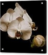 Sepia Orchids Acrylic Print