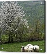 Sheeps Acrylic Print