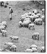 Shepherd With Sheep  Acrylic Print