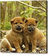 Shiba Inu Puppies Acrylic Print