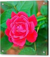 Single Rose Acrylic Print