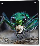 Six-spotted Green Tiger Beetle Acrylic Print