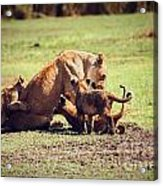 Small Lion Cubs With Mother. Tanzania Acrylic Print