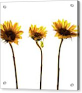 Small Sunflowers Or Helianthus Acrylic Print