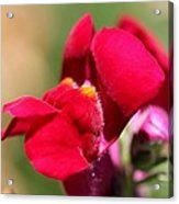 Snapdragon Named Red Chimes Acrylic Print