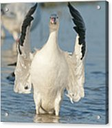Snow Goose Flapping Skagit River Acrylic Print