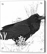 Snow Raven Acrylic Print