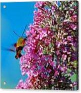 Snowberry Clearwing Hummingbird Moth Acrylic Print