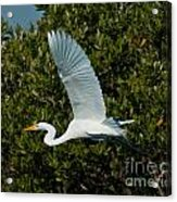 Soaring Snowy Egret Acrylic Print