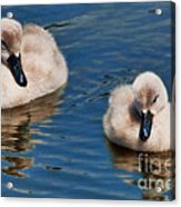 Soft And Fluffy Acrylic Print