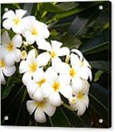 Soft Plumeria Acrylic Print