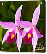 Sophronitis Orchid Acrylic Print