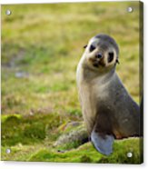 South Georgia Antarctic Fur Seal Acrylic Print