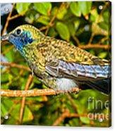Sparkling Violet Ear Hummingbird Acrylic Print