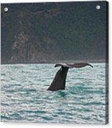 Sperm Whale Diving  Acrylic Print