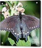 Spicebush Swallowtail Papilio Troilus Acrylic Print