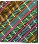 Spirogyra Algae, Light Micrograph Acrylic Print by Science Photo Library