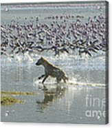 Spotted Hyaena Hunting For Food Acrylic Print