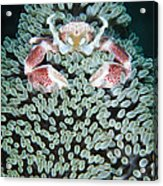 Spotted Porcelain Crab In Anemone Acrylic Print