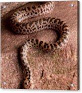 Spotted Python Antaresia Maculosa Acrylic Print