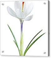 Spring Crocus Flower Acrylic Print