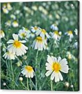 Spring Daisies Acrylic Print