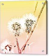 Spring Dandelion Acrylic Print