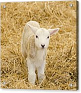 Spring Lamb Acrylic Print