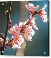 Spring Peach Tree Blossom Acrylic Print