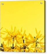 Spring Yellow Forsythia  Acrylic Print