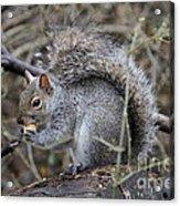 Squirrel With Peanut Acrylic Print