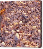 Starfish On The Beach, Lovers Key State Acrylic Print