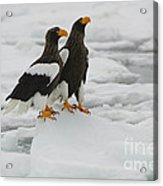 Stellers Sea Eagles Acrylic Print