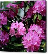Still Life At North Puffin - Rhododendron With Butterfly Acrylic Print