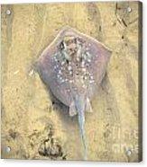 Stingray Acrylic Print