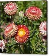 Straw Flowers Xerochrysum Bracteatum Acrylic Print