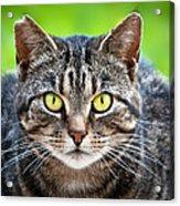 Stray Cat Stare Acrylic Print