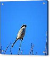 The Lookout Shrike Or Butcher Bird Art Acrylic Print