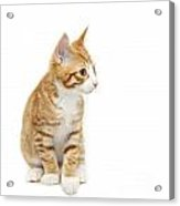 Stripy Ginger Kitten Sitting Down Acrylic Print