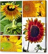 Sunflower Collage   Acrylic Print
