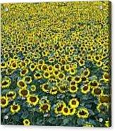 Sunflower Nirvana 13 Acrylic Print