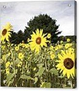 Sunflower Patch Acrylic Print