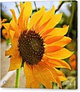 Sunflower With Texture Acrylic Print
