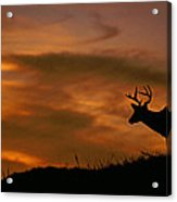 Sunset Buck Acrylic Print