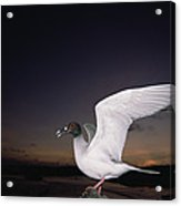 Swallow-tailed Gull Departs At Dusk Acrylic Print