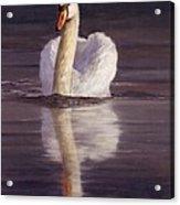 Swan Acrylic Print by David Stribbling