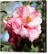 Sweet Camellia Acrylic Print