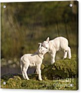 Sweet Little Lambs Acrylic Print